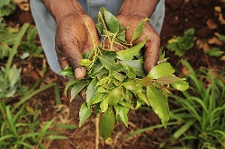 Pic by Neil Palmer (CIAT). Khat leaves. Pictures from the Mount Kenya region, for the Two Degrees Up project, to look at the impact of climate change on agriculture. For more information please contact n.palmer@cgiar.org